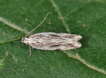 Anarsia lineatella