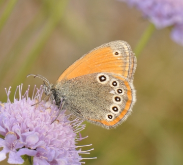 Coenonympha iphioides