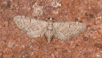 Eupithecia ultimaria