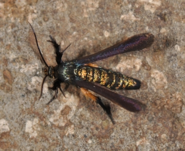Negotinthia myrmosaeformis