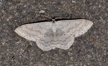 Scopula incanata