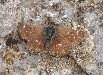 Spialia orbifer