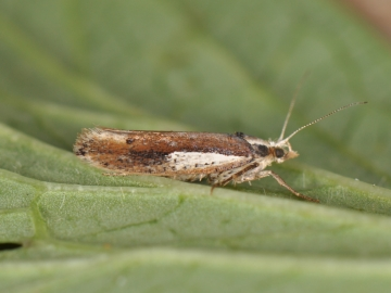 Ypsolopha parenthesella